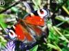 Dnevni pavlinček (Inachis io)