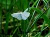 Nočni beli metulj