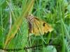 Nočni pisani metulj