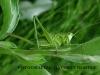 zelenakobilica-4