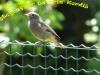 samička Šmarnice -Phoenicurus ochruros