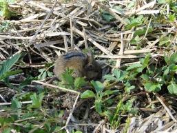 Poljska miš