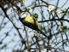 Plavček ( Cyanistes caeruleus)